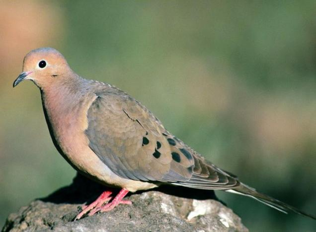 bird_sounds_and_songs2-mourning_dove-us_fish_and_wildlife_wikimedia_commons